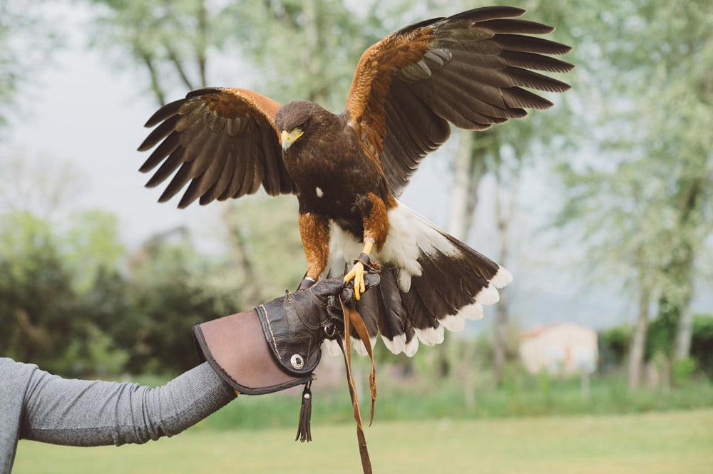 falconry pest control