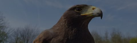 Falconry Pest Control and Bird Control Experts