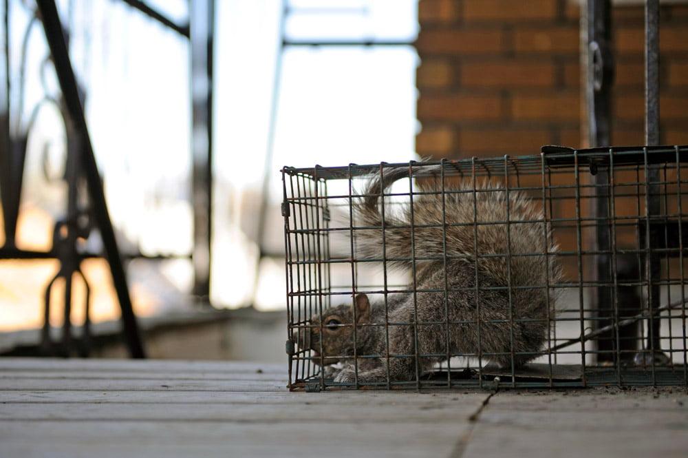 grey squirrel control cardiff