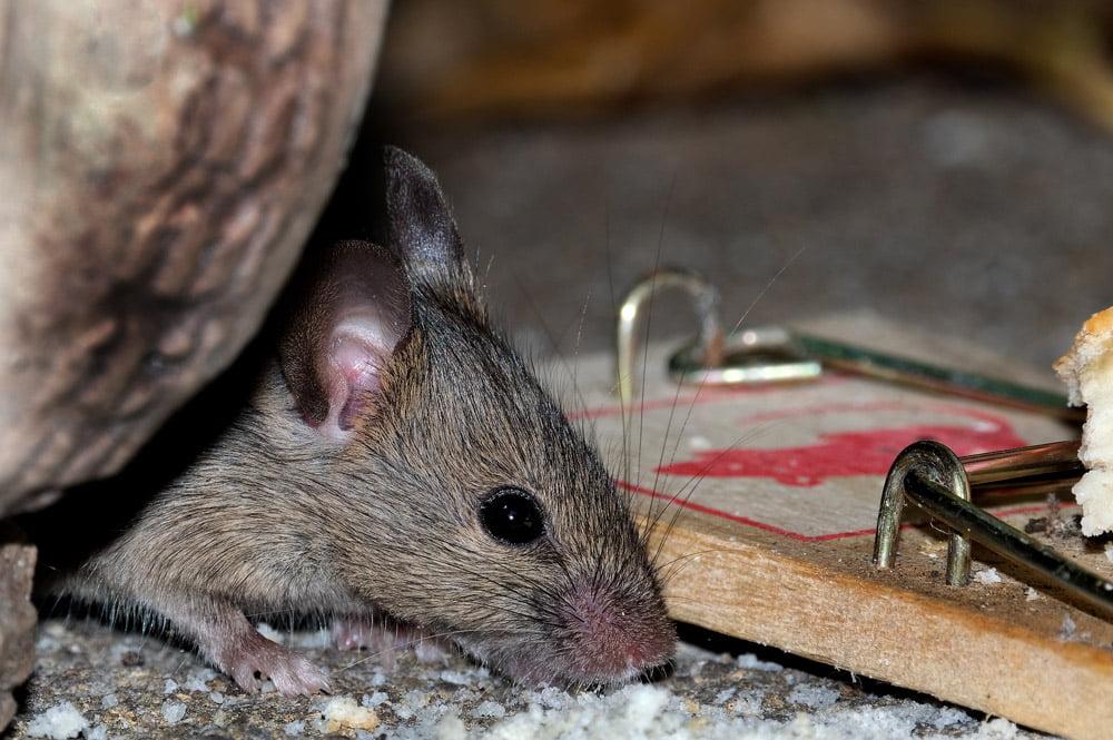 mice control cardiff