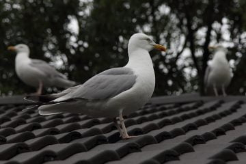 Obtaining a Gull Licence