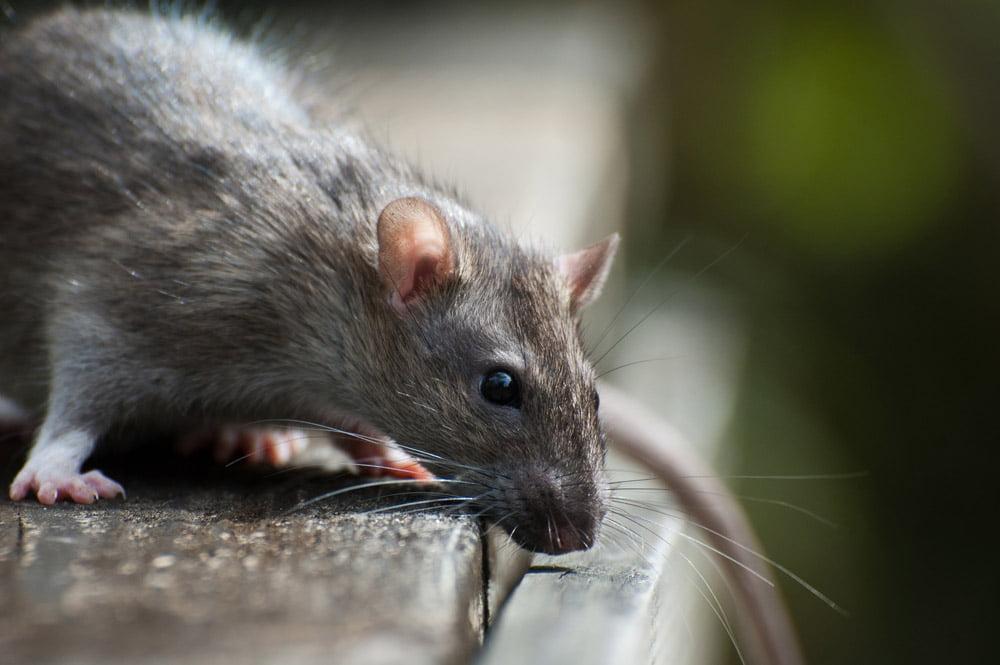 rat control cardiff